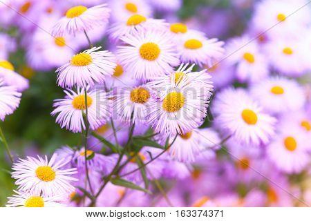 Flowers Of Daisy Family, Macro Photo