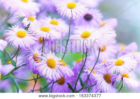 Decorative Pink Flowers, Daisy Family