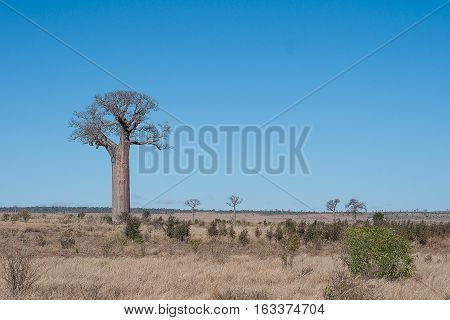 Landscape with boabab trees and a blue sky in Madagascar