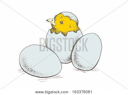 Chick peeking out of eggs. Series sketch illustration for print, infographics or other design working. Graphics, handmade drawing chick with eggs. Chicken vector image. Vintage engraving style.