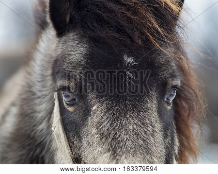 head of black and gray shaggy pony on blurred background