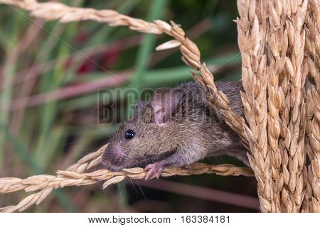 Brattleboro Rat, Mouse In The Rice Plant