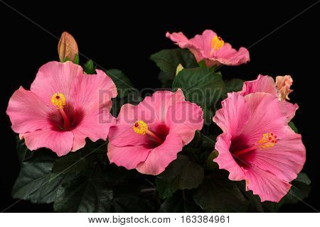 Close-up of rosa sinensis hibiscus flower. Photography of nature.