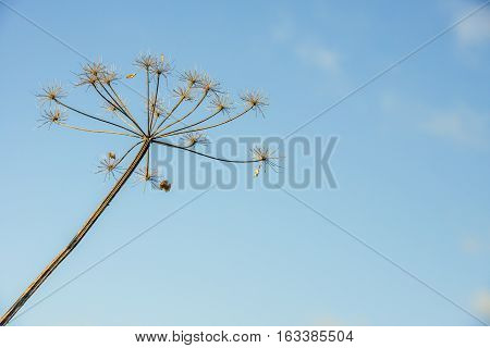 Closeup of overblown and withered cow parsley or Anthriscus sylvestris against a blue sky on a sunny day in the beginning of the Dutch winter season. The photo illustrates the life cycle and therefore it is suitable as a decoration on a mourning card.