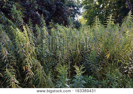 A stand of stinging nettles (Urtica dioica) in a yard in Harbor Springs, Michigan during August.