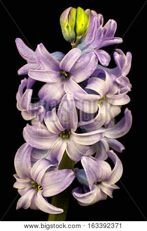 Close-up of lilac pearl hyacinth flowers. Photography of nature.
