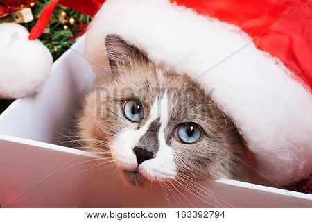Ragdoll cat breed on a Christmas background