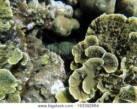 Underwater landscape with green and yellow corals and striped fish hiding. Seaside life scenery. Mimicry in nature. Oceanic ecosystem. Coral reef with animal. Tropical sea landscape. Seabed view