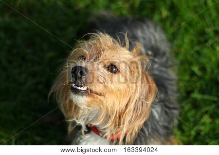 A hairy terrier cross breed dog showing it's teeth