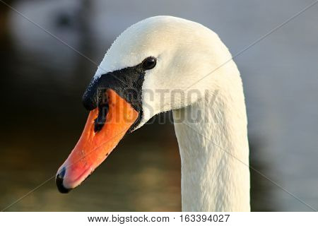 An adult Mute Swan in golden sunshine