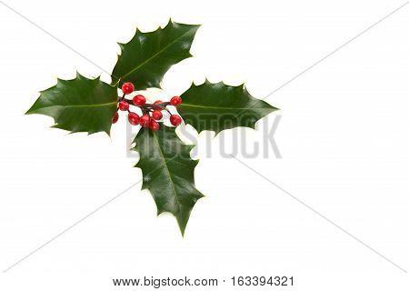 Holly ilex christmas decoration on a white background