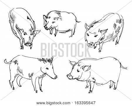 Vietnamese pig. Set. Hand-drawn. Isolated on white background