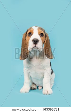 Cute beagle puppy dog sitting on a blue background seen from the front facing the camera