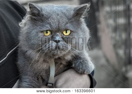 British Fold cat in the hands of the host looks.