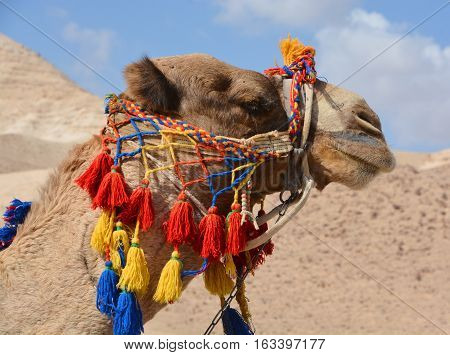 Bedouin camel on the way to the dead sea. Israel.