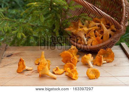 Edible Mushroom Chanterelles On Wooden Table Under Small Fir Outdoor.