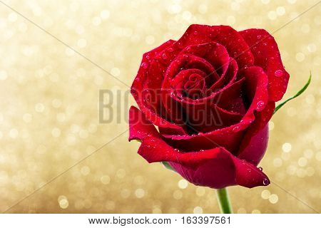 Red rose on golden glitter background.Love concept valentines day. Copyspace.