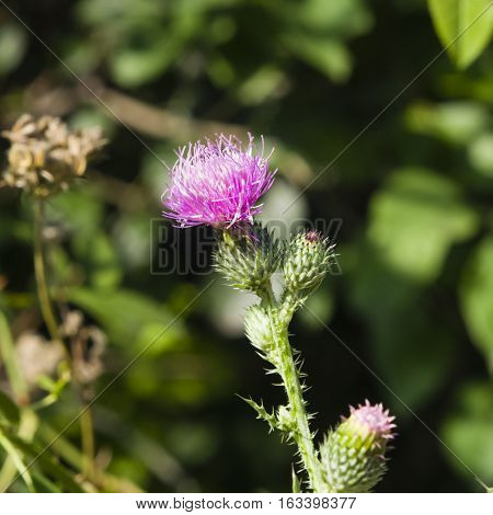 Blooming Thistle Carduus flowers buds and riping seeds on stem macro with bokeh background selective focus shallow DOF