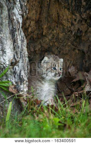 Canada Lynx (Lynx canadensis) Kitten Looks Right - captive animal