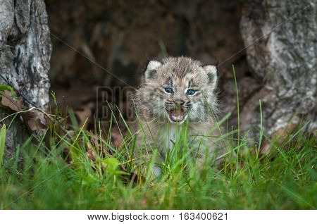 Canada Lynx (Lynx canadensis) Kitten Cries Behind Grass - captive animal