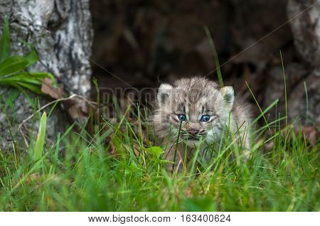 Canada Lynx (Lynx canadensis) Kitten Looks Out Between Blades of Grass - captive animal
