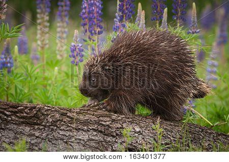 Porcupine (Erethizon dorsatum) Walks Left Atop Log - captive animal