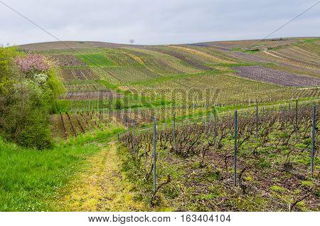 Agricultural landscape with vine yards in spring in France.