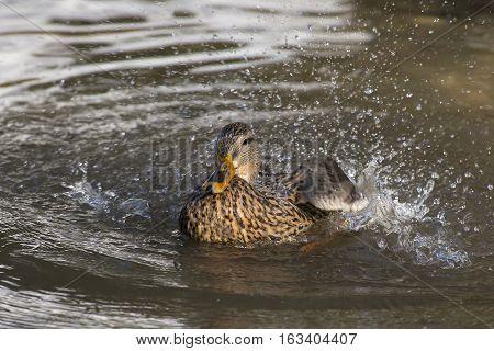 Mallard (Anas platyrynchos) female taking a Bath in a small Pool
