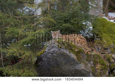 Eurasian Lynx (Lynx lynx) resting on a Rock in a Forest