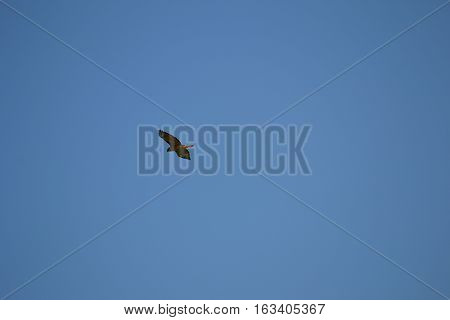 Adult redtailed in flight on a clear winter day