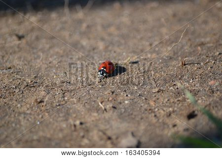 Ladybird beetle or Ladybug walking along in an ecological reserve in Southern California