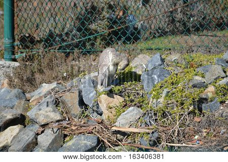 Juvenile black-crowned night-heron sitting on the rocks at an ecological reserve in Southern California