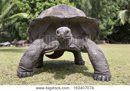 Aldabra Giant Tortoise at tropical island in Seychelles