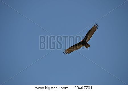 Turkey Vulture (Turkey Buzzard)  in flight at Bolsa Chica Ecological Reserve. located in the city of Huntington Beach, Orange County, California.