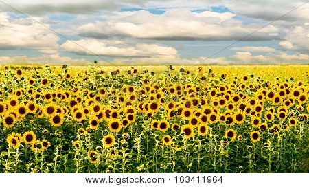 landscape with the sunflower field at sunny day
