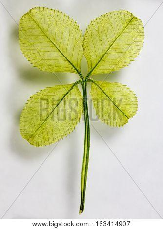 An up-close shot of a four leaf clover.