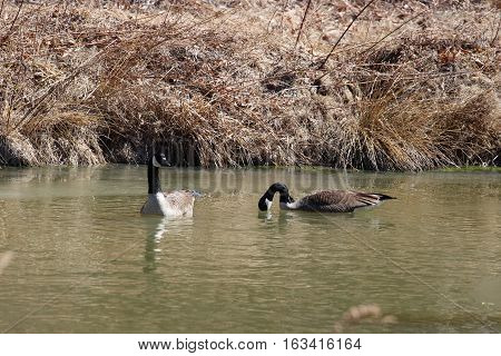 A pair of geese in the wetlands guarding their nest.