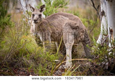 a grey kangaroo feeding near a tree