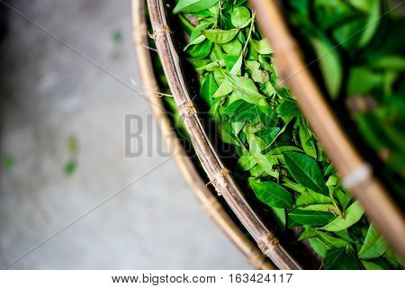 Asia culture concept image - top eye view of fresh organic tea bud & leaves on bamboo basket in Taiwan the process of tea making