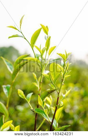 Asia culture concept image - view of fresh organic tea bud & leaves plantation the famous Oolong tea area under sunrise and morning blue bright sky in Taiwan