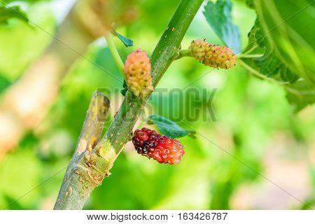 Fresh ripe mulberry berries on tree - Fresh mulberry