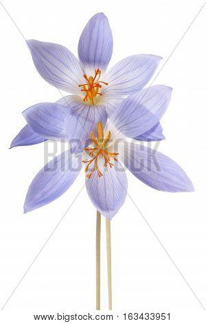 Crocus Flower Isolated