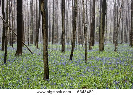 Wild flowers hyacinths in the Belgian spring woods. Rhythm of trunks