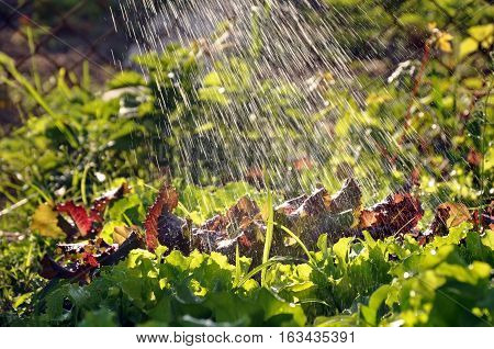 Process of watering the garden plants. Green and red leaf lettuce under the falling water drops in motion in sunlight.