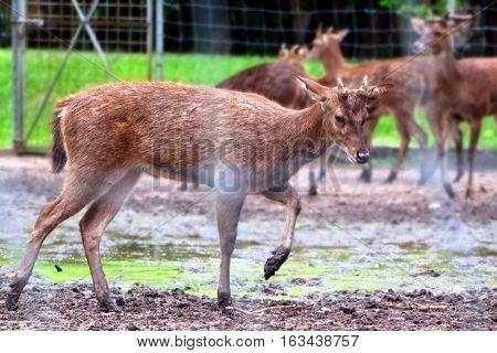 Deer walking in muddy ground with blur background