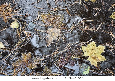 Autumn background. Maple and oak leaves and pine needles in a puddle on the pavement.