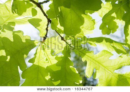 new leaf of oak tree