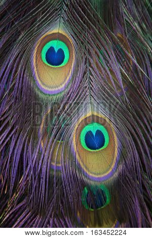 detail of a peacock plumage with two beautiful eyes