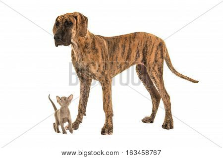 Small cute siamese baby cat looking up to a large great dane dog on a white background
