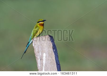 Blue-tailed bee eater in Arugam bay lagoon, Sri Lanka ; specie Merops philippinus family of Meropidae